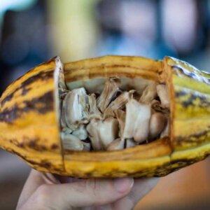chocolate pod, mindo, Ecuador