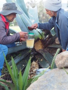 Agave Honey Harvest, Cayambe, Ecuador