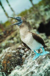 Blue Footed Boobies, Isla de la Plata, Puerto Lopez, Ecuador