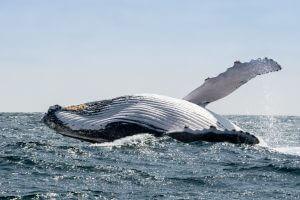 Humpback Whales, Ecuador