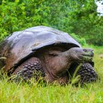 Galapagos giant tortoise on Santa Cruz Island in Galapagos National Park
