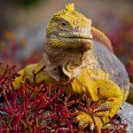 Yellow Iguana, Ecuador