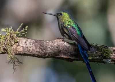 Hummingbird in Ecuador